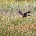 Western Marsh Harrier - R�rh�g